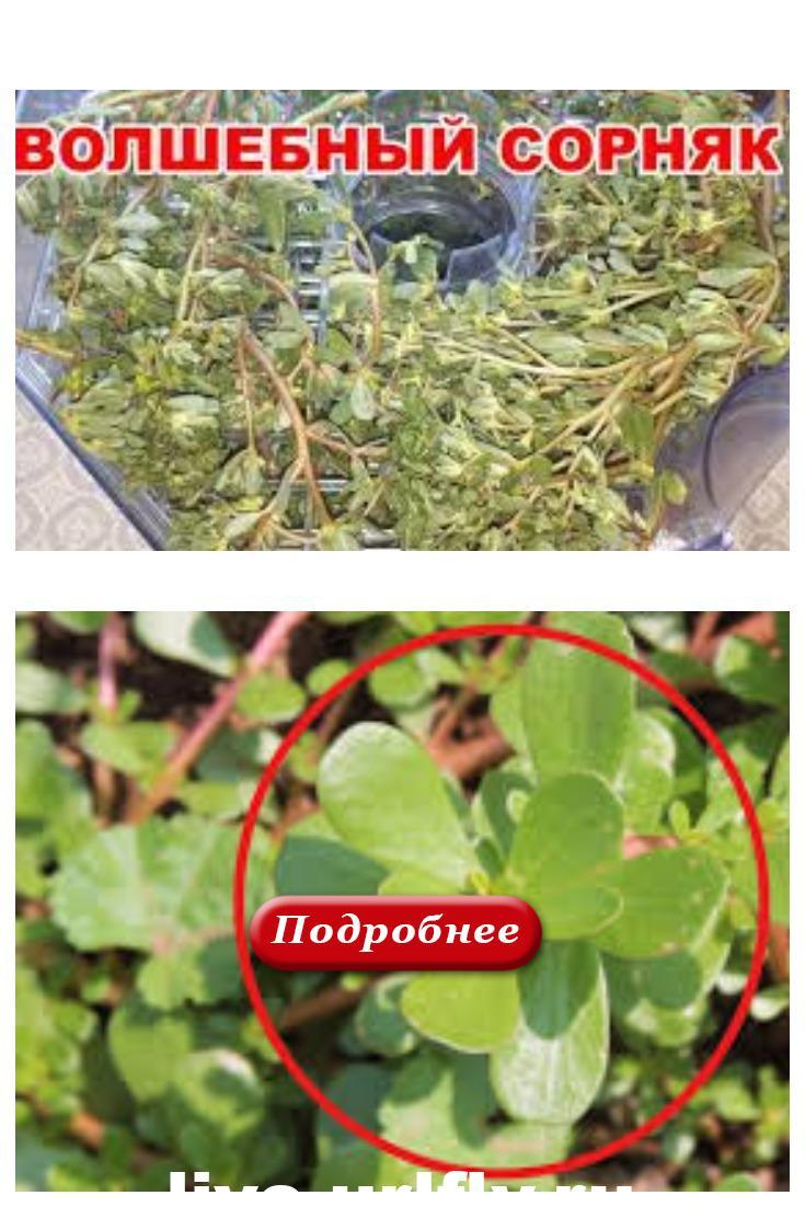 ПОРТУЛАК, сорняк, который укрепляет иммунитет и лечит от 100 болезней